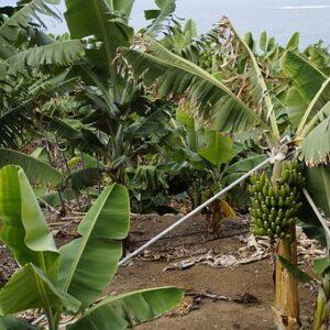 Banana a Tenerife