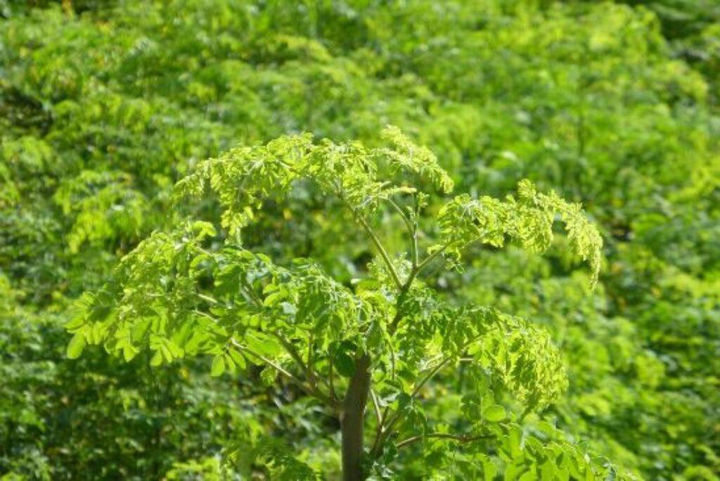 Canarie, la migliore produzione di Moringa in Europa